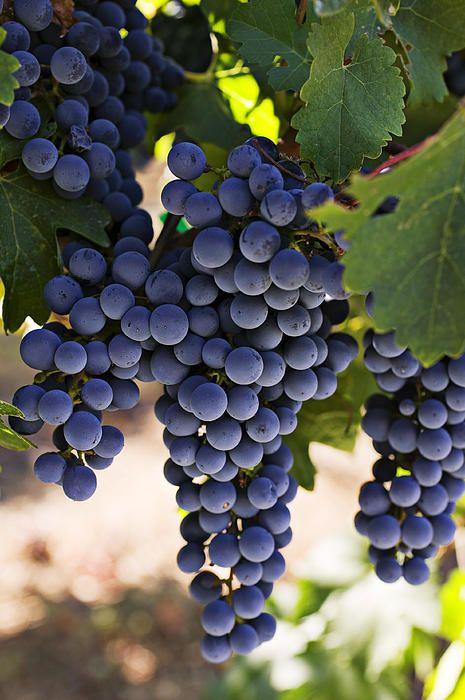 Parra con uvas oscuras