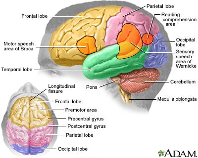 """the specialized functions of the different areas of the brain This region is the inferior parietal lobule, also known as """"geschwind's territory  the brain perform two different functions, the brain's cognitive."""