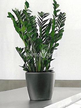 Natural Herbs in Pots Lechuza Classico Zamioculcas  http://www.robertorossi.ro/amenajari-interioare-apartamente/