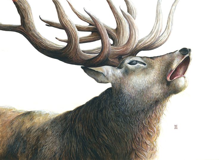 "This stag is entitled ""The Last Broadcast"" and he's available in cards and large format prints from Wild Honey Art. www.wildhoneyart.co.nz"