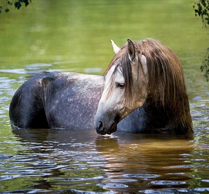 Andalusian cooling down in the lake. photo: Ekaterina Druz.