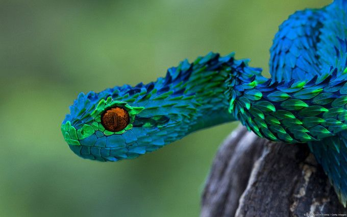21 Indonesian Autumn Adder, The Most Beautiful Snake In ...