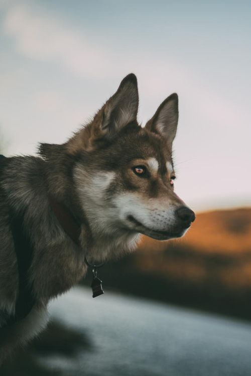 beautiful husky | animals + pet photography #dogs