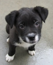 Lab/husky mix up for adoption in Pontiac, MI so cute!