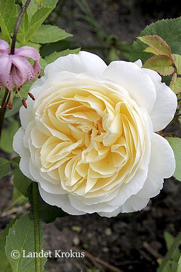 The Crocus Rose, @Hanne Malmsten Gundersen Krokus Min favoritros/Pia