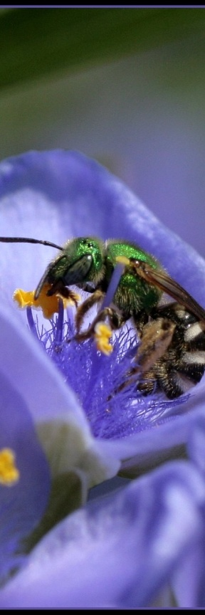 A green-faced bee.  Love to see the natives out collecting from the flowers.
