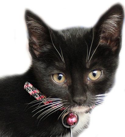 most sociable cat breeds