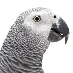 Do's and Dont's For African Grey Parrots Follow these pet bird tips for a happy, healthy African grey.