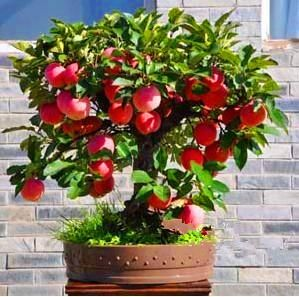 30 seeds/pack Trial product Bonsai Apple Tree Seeds