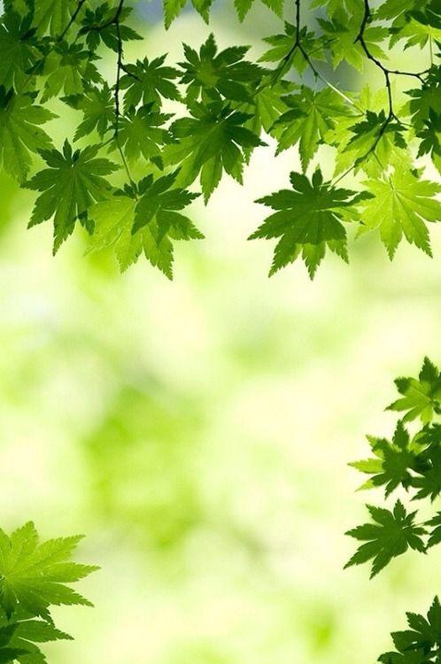 acer palmatum leaves