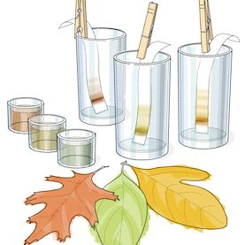 Find the Hidden Colors of Autumn Leaves - What color are autumn leaves really turning?: Use some simple chemistry to separate out molecules that give fall leaves their vibrant colors. Free via Scientific American.