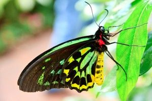 Rainforest Facts for Kids - The world's largest butterfly.