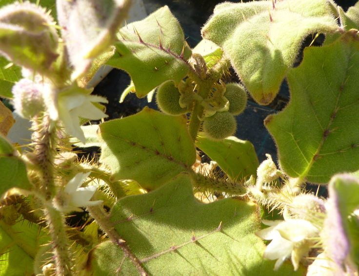 lulonaranjilho pouco visto em portugal fruto pequeno mas muito saboroso já provei no ano anterior.