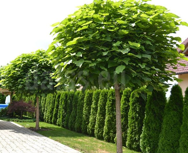 best 25 catalpa bignonioides nana ideas on pinterest