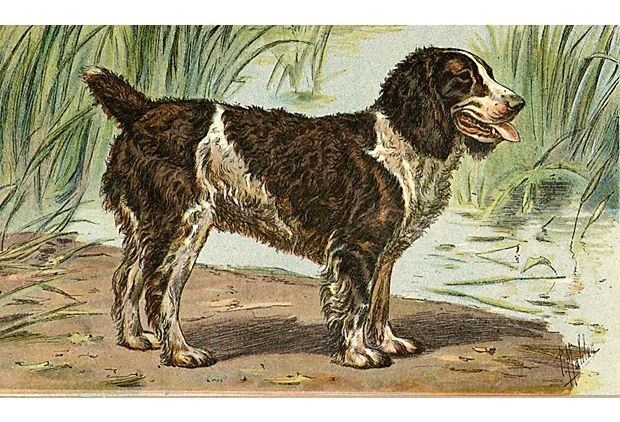 English Water Spaniel, 1931 on OneKingsLane.com   $45.00 on ebay, unframed.  Small 7 X11.