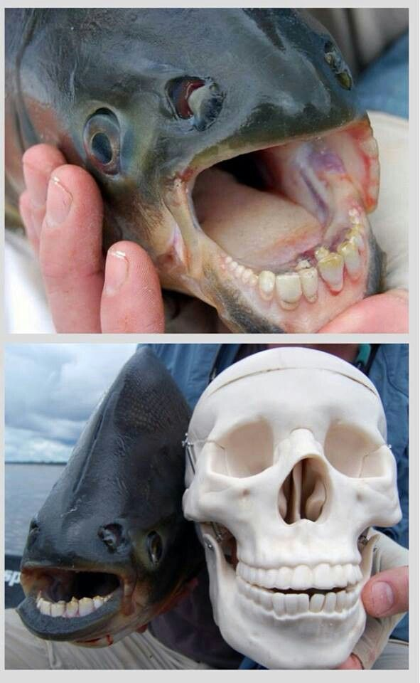 50 best images about pacu fish on pinterest bristol for Freshwater fish with teeth