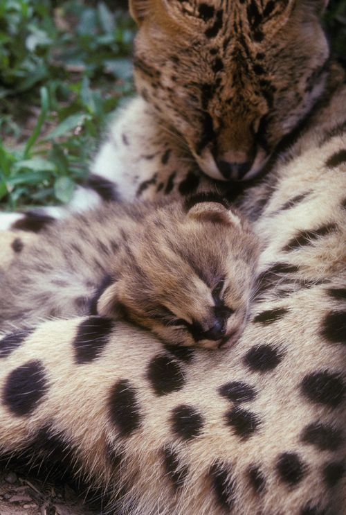 New born Serval kitten at The National Zoo (Photo by Jessie Cohen, Smithsonian National Zoological Park)