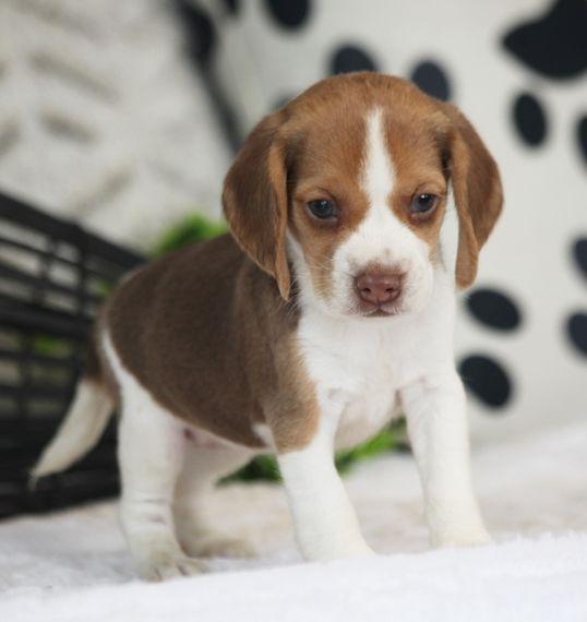Starburst Beagle Puppy Beagle Puppy Puppy Facts Puppies