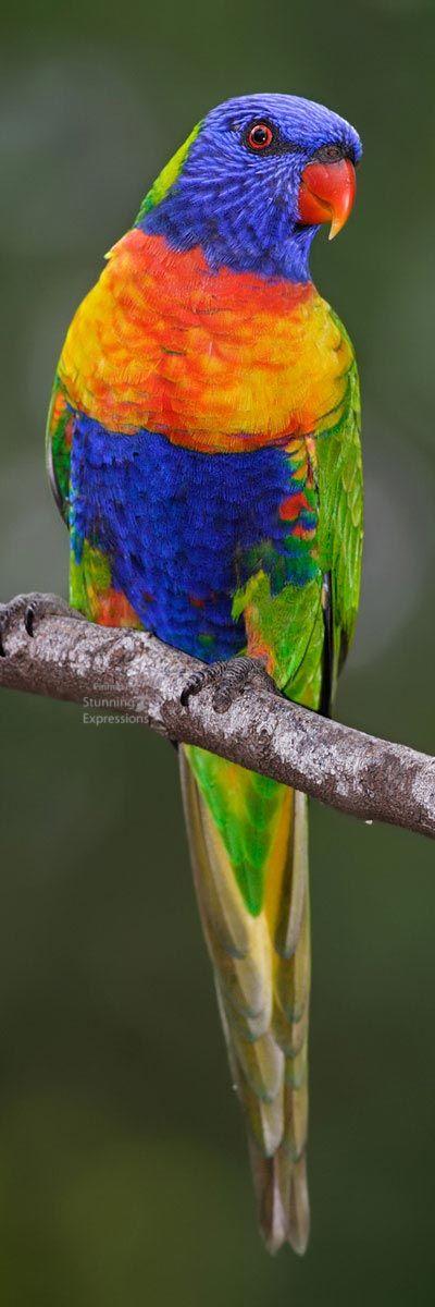Rainbow Lorikeet Thrichoglossous Haematodus