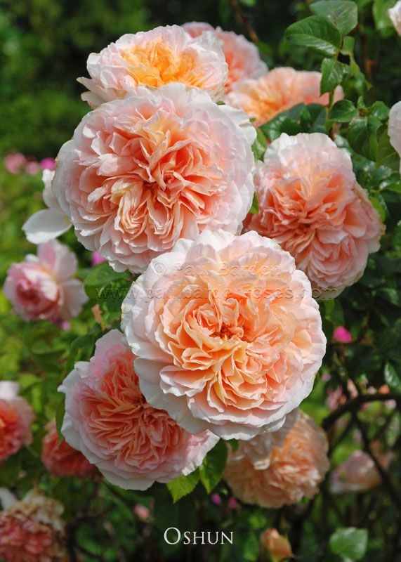 277 besten rosen roses bilder auf pinterest belle for Aussendeko gartendekorationen