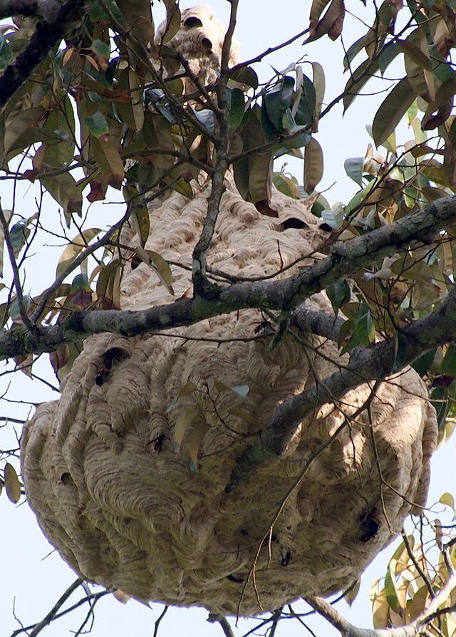 Sarang Tebuan Haji - Asian predatory wasp - Wikipedia, the free encyclopedia
