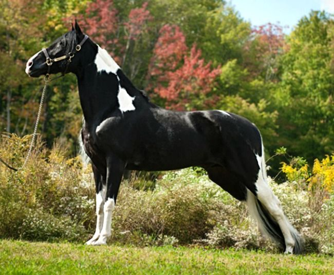 Tennessee Walking Horse stallion, Hardcastle's Prime Sun.