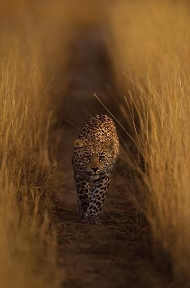 A leopard walks through high grass in the Serengeti, photo by Hannes Lochner