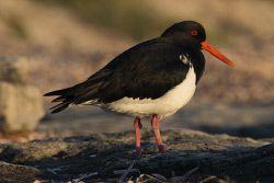 WAN-0014062 © WestPix Rottnest Island wildlife. Pied Oyster Catcher Picture: Simon Santi The West Australian