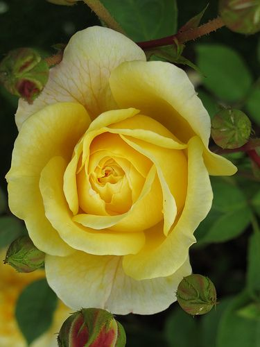 Yellow Rose Starting To Open