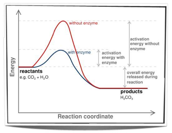 ib bio enzyme catalyst lab