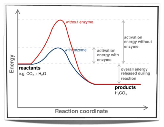 different concentrations of enzyme effect on reaction rate biology essay Typical enzymes are active in salt concentrations of rate of an enzyme reaction is constants of enzyme reactions, through an effect called.