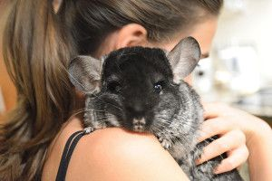 The chinchillas are mammals. Here are some chinchilla facts: their natural habitat is the South part of Latin America. Chinchillas live in colonies of 100.