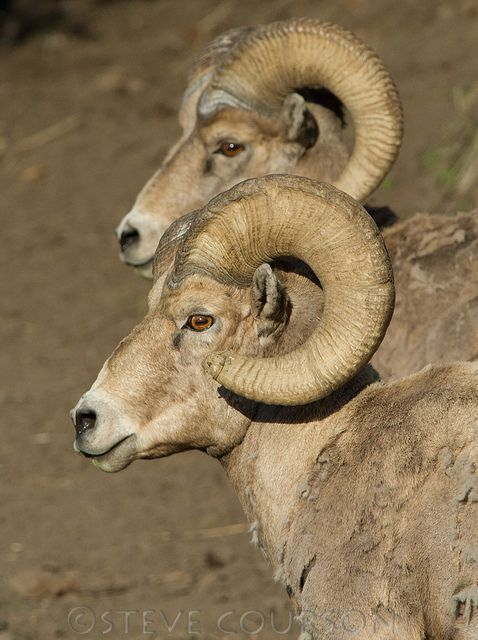 Two Big Horn Rams - by Steve Courson