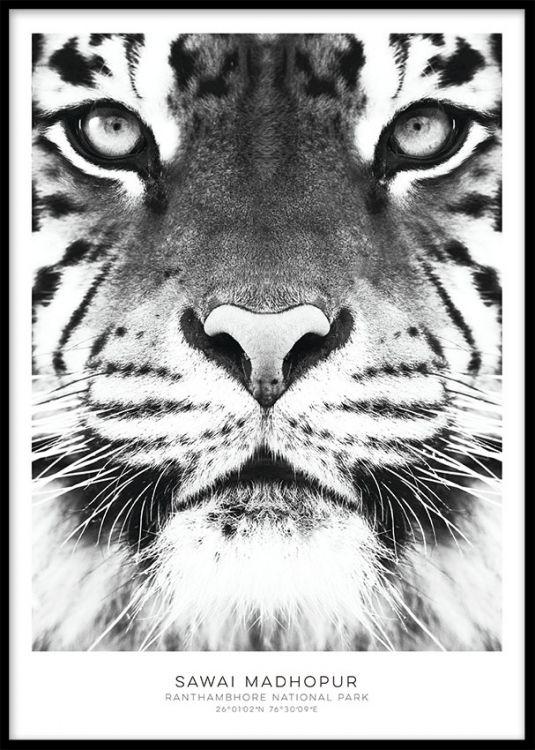Sort-hvid plakat med tiger, fin til billedvæg.