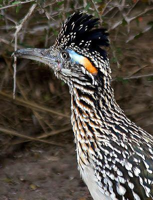 Dan Tallman's Bird Blog: Greater Roadrunner