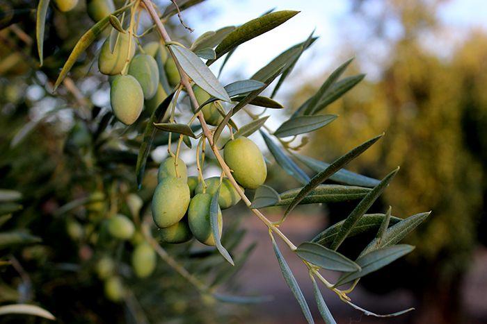 Oliva verde