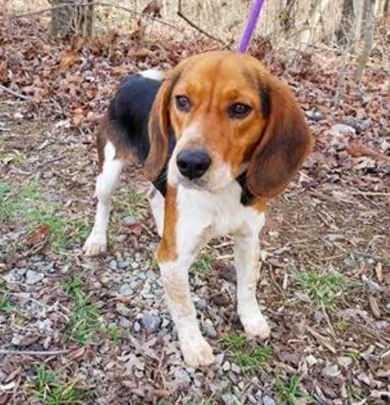 Rawlins! is an adoptable Beagle searching for a forever family near New York, NY. Use Petfinder to find adoptable pets in your area.