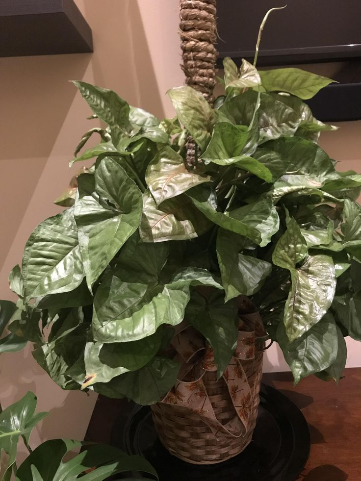 Received this plant at my grandmothers funeral today. Can anyone identify so I can take proper care of it? Some sort of caladium?
