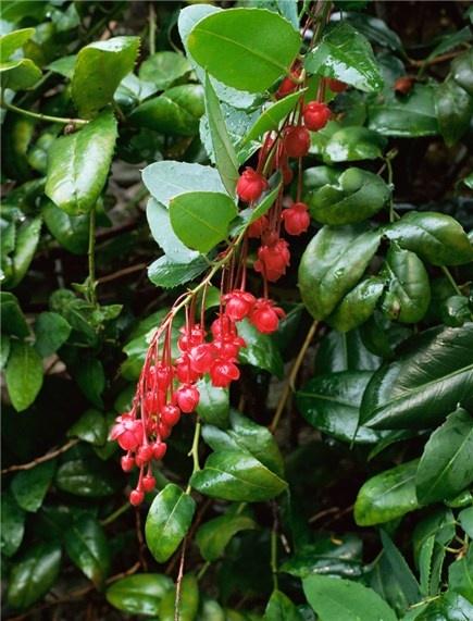 Berberidopsis Corallina - climber for acid soil in a mild sheltered garden.  Semi-evergreen.