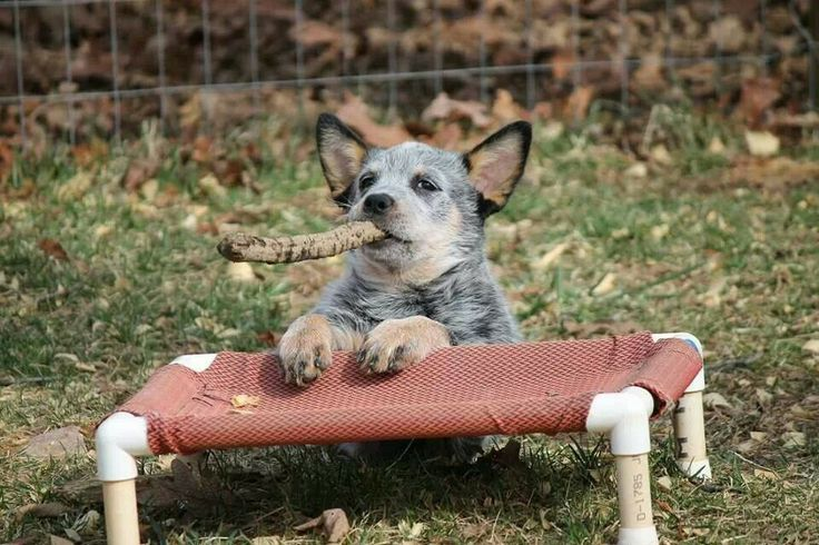 This is just the cutest Gotta Love Blue Heelers