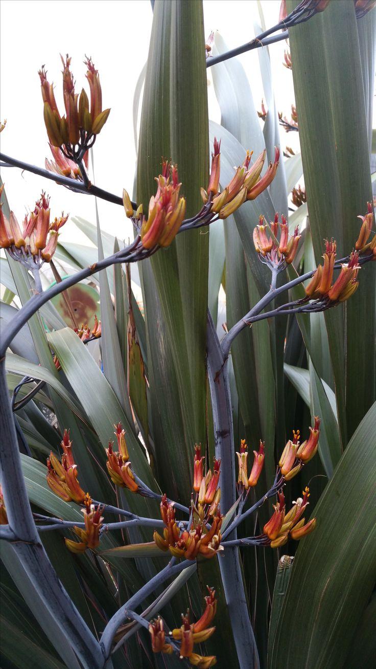 Fleur de Phormium en été