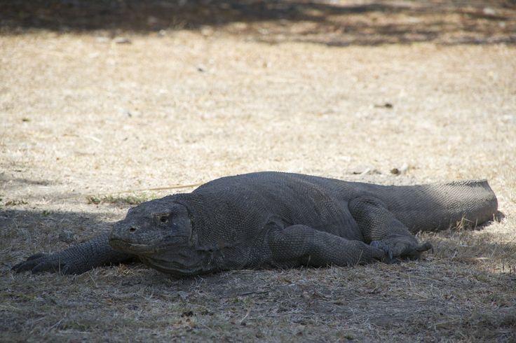 Komodo Dragon, Rinca