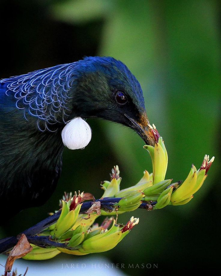 New Zealand Tui eating flax flowers #NZ_birds photo by @jaredhuntermason •
