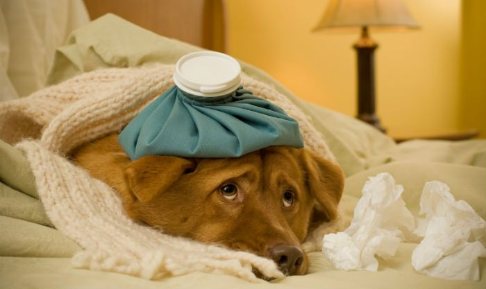 É comum cães sofrerem de desordens digestivas. Vejas dicas para aliviar este tipo de problema. Quando o cão sente dor de estômago ou enjoo, ele come grama para indução do vômito e assim eliminar o …