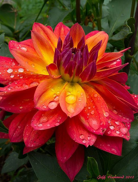 04-25-2016 ✯ Hawaiian Dahlia Beautiful gorgeous pretty flowers tones of oranges and gold and reds