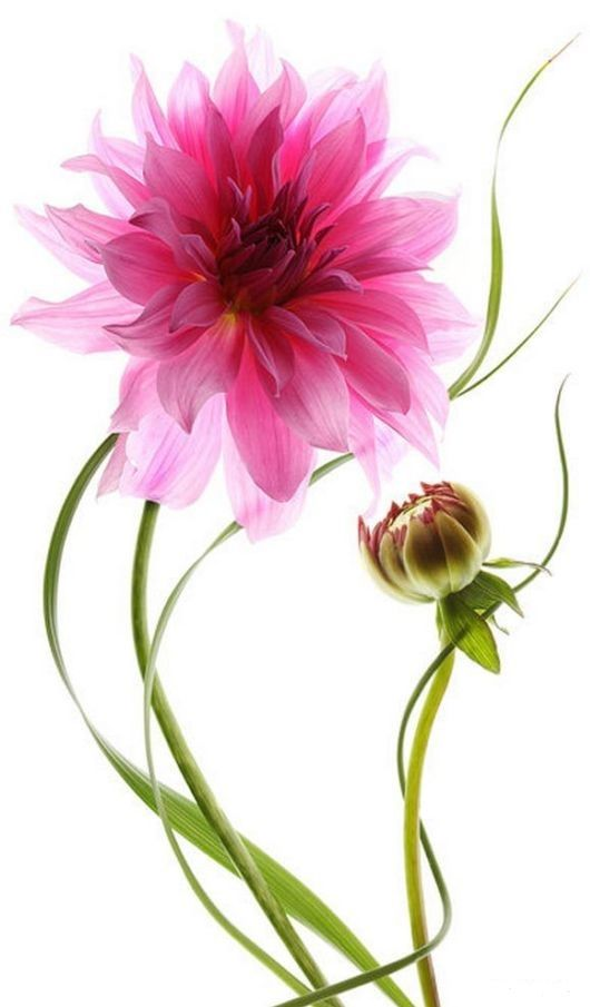 this would be a bad ass flower to add to the floral piece I want done on my arm!!