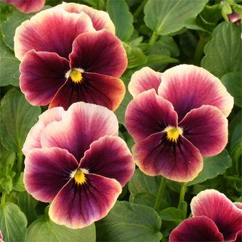 Viola angel rose picotee
