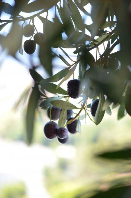 Slowgarden / olive tree / Provence