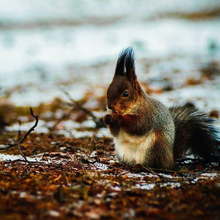 Eichhörnchen  Mögt ihr die auch so gerne??  Die kleinen Kobolde sind in Deutschland äußerst beliebt! Auch für den Wald sind die kleinen Kerle sehr nützlich.. Vor dem Winter fressen sich Eichhörnchen wenig Winterspeck an – stattdessen verstecken sie Nahrung in Depots, die sie bei Nahrungsengpässen plündern. So tragen sie zur Verbreitung von Baum- und Straucharten bei. Übrigens - Männchen riechen paarungsbereite Weibchen auf über anderthalb Kilometer Entfernung! Alle Achtung!!!