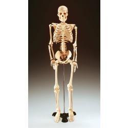 maqueta-de-esqueleto-humano-de-1-70-cms-1342915202.jpg (250×250)